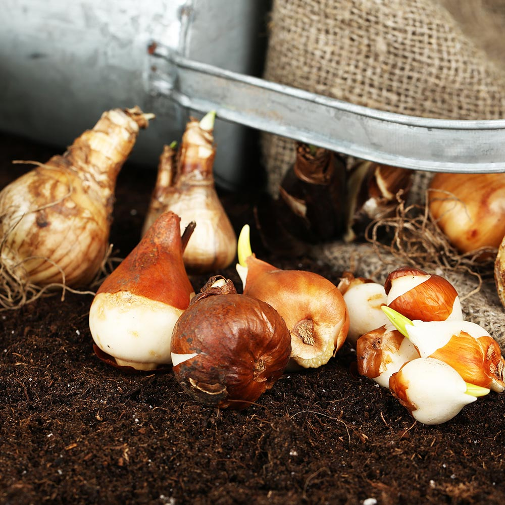Bulbs & Seed Potatoes