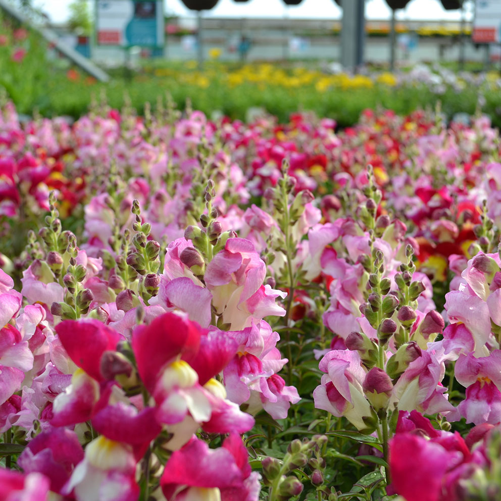 Home grown Summer bedding plants available now